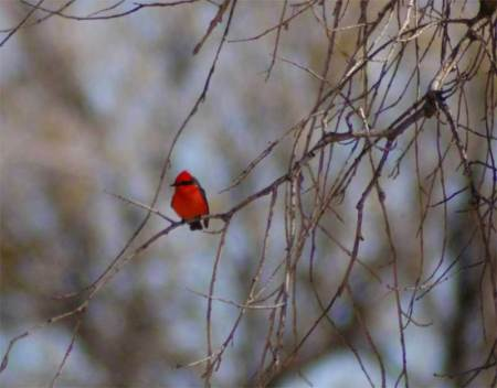 red-breasted-lone-ranger.jpg