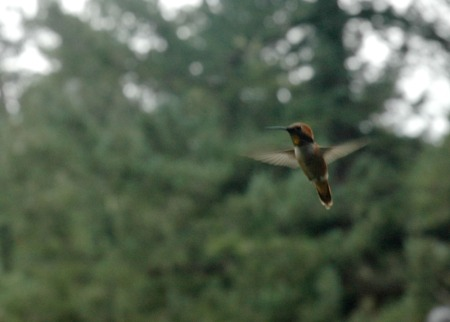 rufous-hovering-1-of-1.jpg