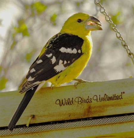 yellow-grosbeak-small.jpg