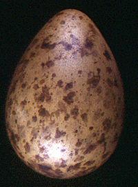 bar-tailed-godwit-egg.jpg