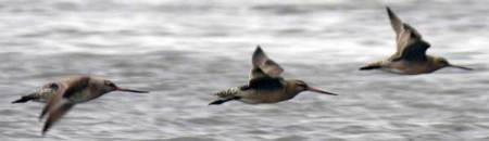 bar-tailed-godwit.jpg