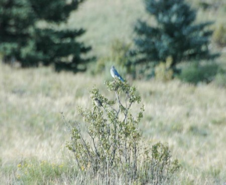 mountain-bluebird-and-yellow-rumped-warbler-blurred-1-of-1.jpg