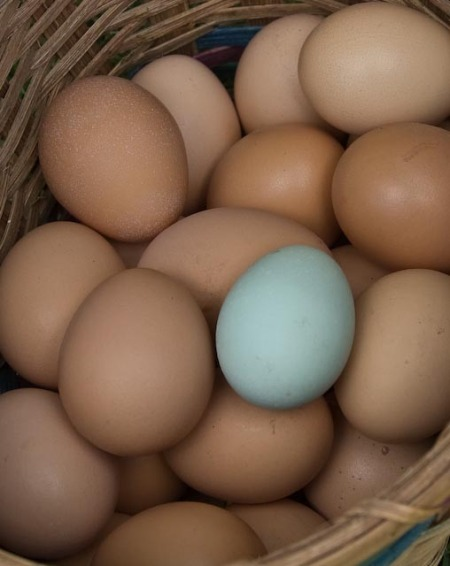 araucana-egg-1-of-1.jpg