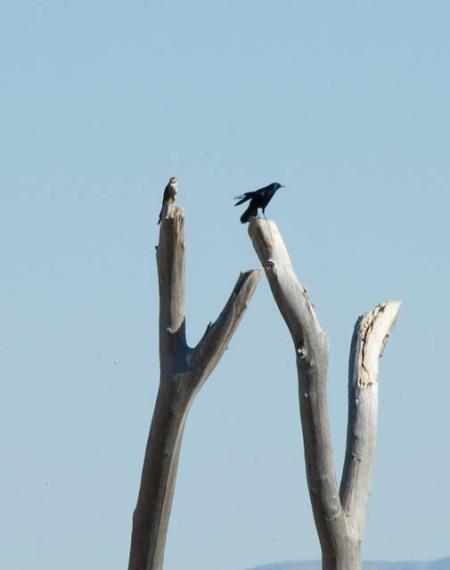 aplomado-bosque-nov-2007-2.jpg