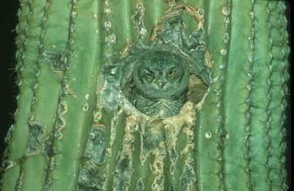 saguaro_owl_wink_689_415x269.jpg