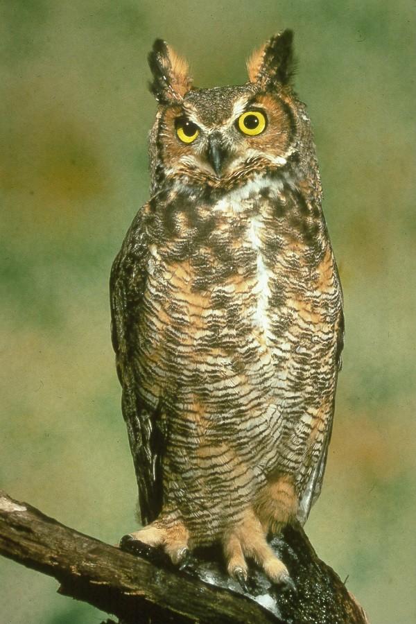 great horned owl fat finch backyard birds birding blogging. Black Bedroom Furniture Sets. Home Design Ideas