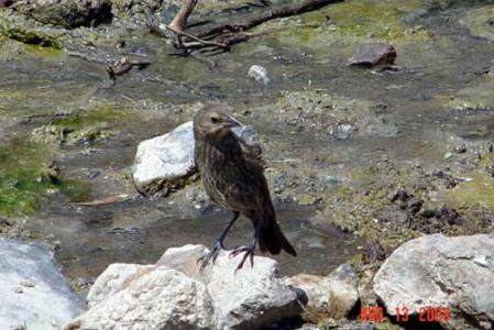brown-headed-cowbird-molothrus-ater.jpg