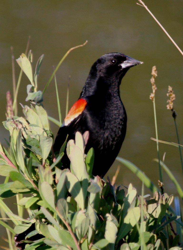 Geese Fat Finch Backyard Birds Birding Amp Blogging