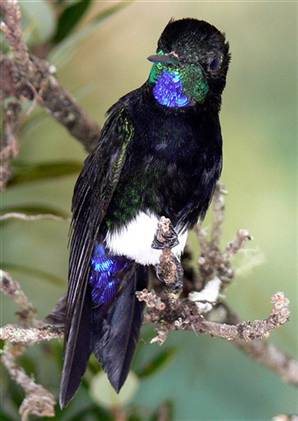 Gorgeted Puffleg