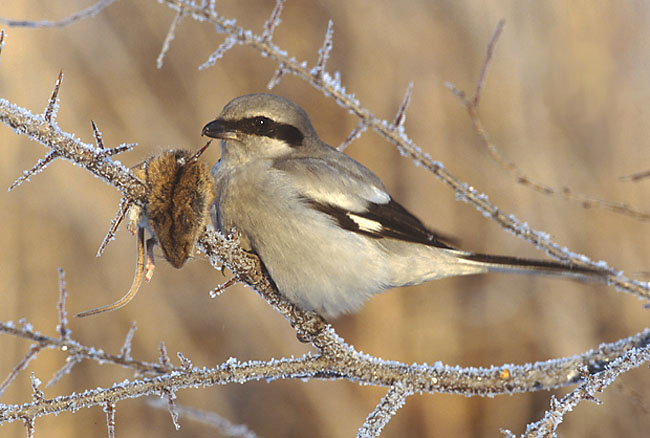 [Image: great-grey-shrike.jpg]