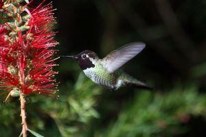 Anna\'s Humingbird