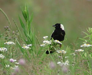 Male Bobolink Photographer unknown
