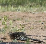 Roadrunner Dust Bath