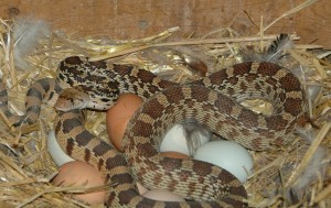 Snake and Eggs 1