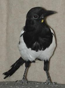 Magpie with Yellow Sticker Affixed