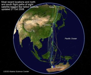 Map of Godwit Migration 2008
