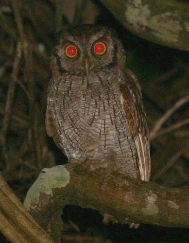 The Tropical Screech Owl