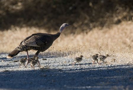 Female Wild Turkey with chicks