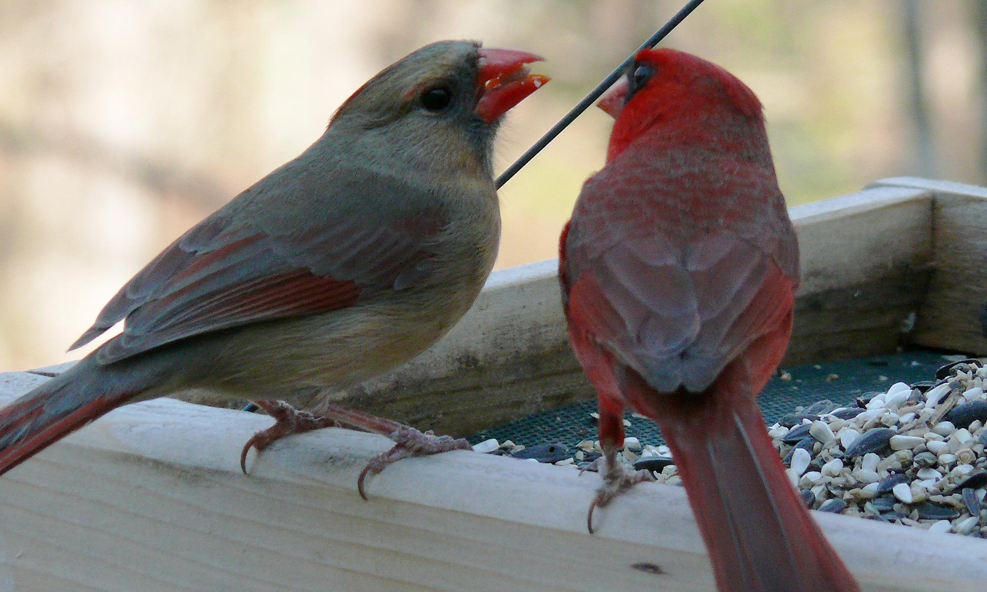 illinois state bird fat finch u2014 backyard birds birding u0026 blogging