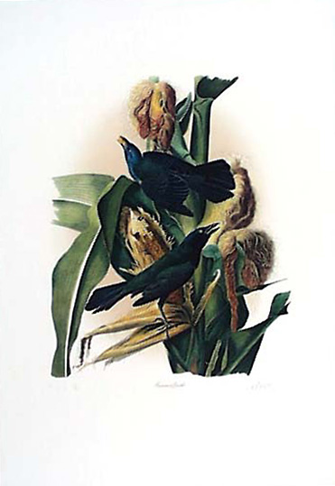 Common Grackle as painted by J.J. Audubon
