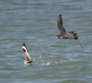 Falconiformes. sub Falconidae - sub fam Falconinae - gênero Falco - Página 2 Peregrine-in-flight
