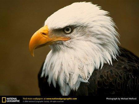 bald-eagle-head2