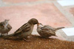 House Sparrow feeding a fledgling