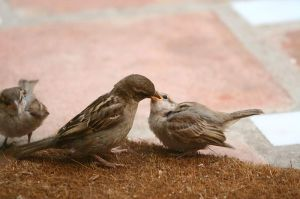 House Sparrow feeding a fledgling