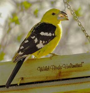Yellow Grosbeak