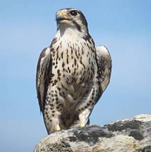 Prairie Falcon - Photographer Unknown -USGS Photo