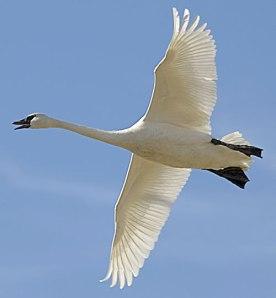 swan_flying1