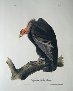 audubon-california-turkey-v1