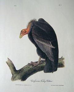 audubon-california-turkey-v1