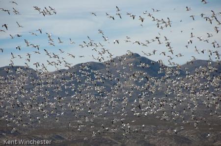 snow-geese