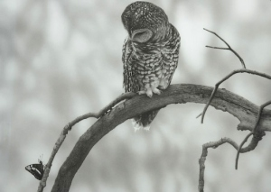 Juvenile Spotted Owl by David Utterback