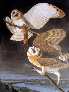 Barn Owls Painted by Audubon