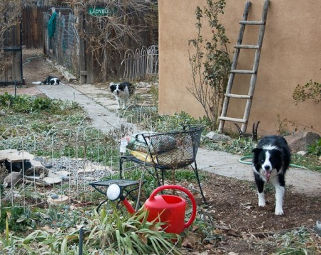 Border Collies Feeding the Birds
