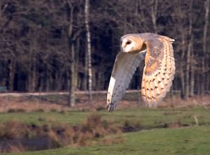 flying-barn-owl-jurgen
