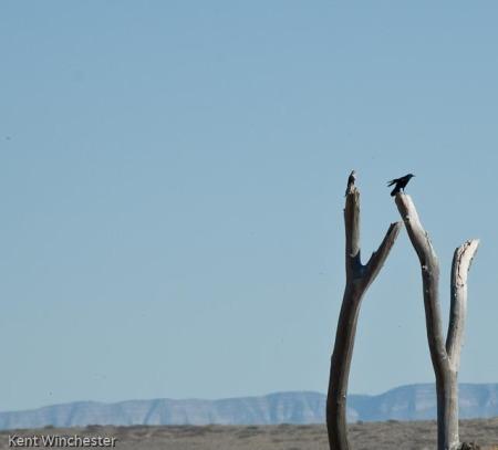 A Reintroduced Juvenile Aplomado Meets Raven