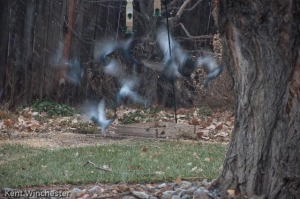 Startled Pigeons at our Feeders
