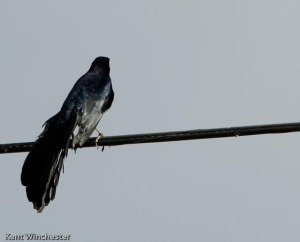 grackle (2 of 3)