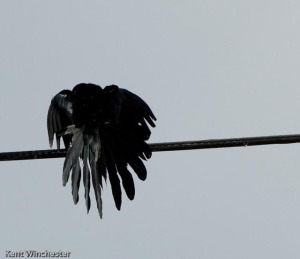 grackle (3 of 3)