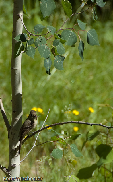 Hammond's Flycatcher (2 of 3)