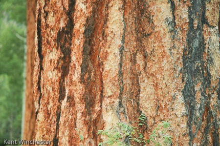 ponderosa pine (1 of 2)