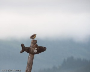 Western Meadowlark at Station Six