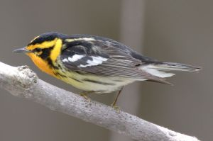 A Blackburnian Warbler, the first bird on her list.