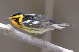 A Blackburnian Warbler, the first bird on her list.