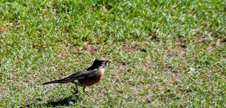 American robin-1