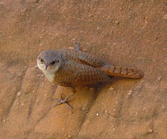 Canyon Wren by Joan Mayer, NPS