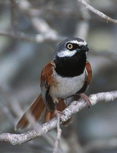 The last bird on her list, a Red-shouldered Vanga
